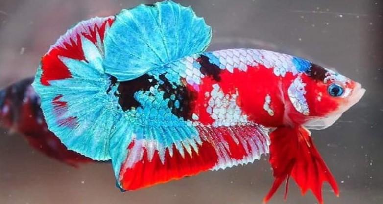 Mengenal Jenis Jenis Ikan Cupang Dan Cara Membudidaya Ikan Cupang Jurnalpost